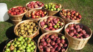 Apples in Bushel Baskets - Full Width Image