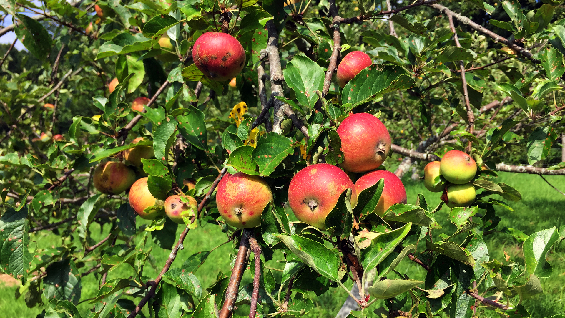 Apples in Orchard - Bright - Full Width Image