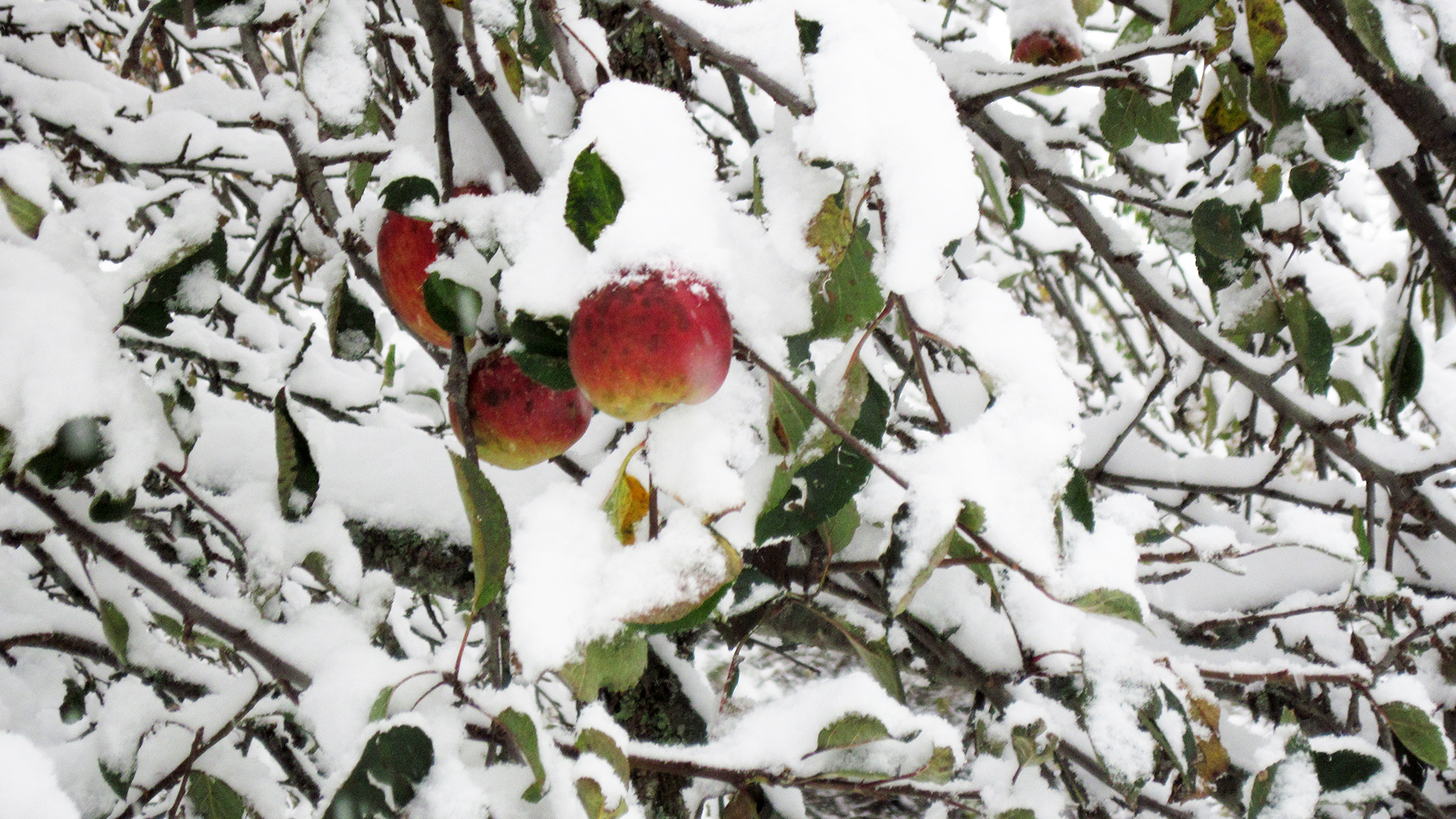 Apples after snowfall - Full width Image