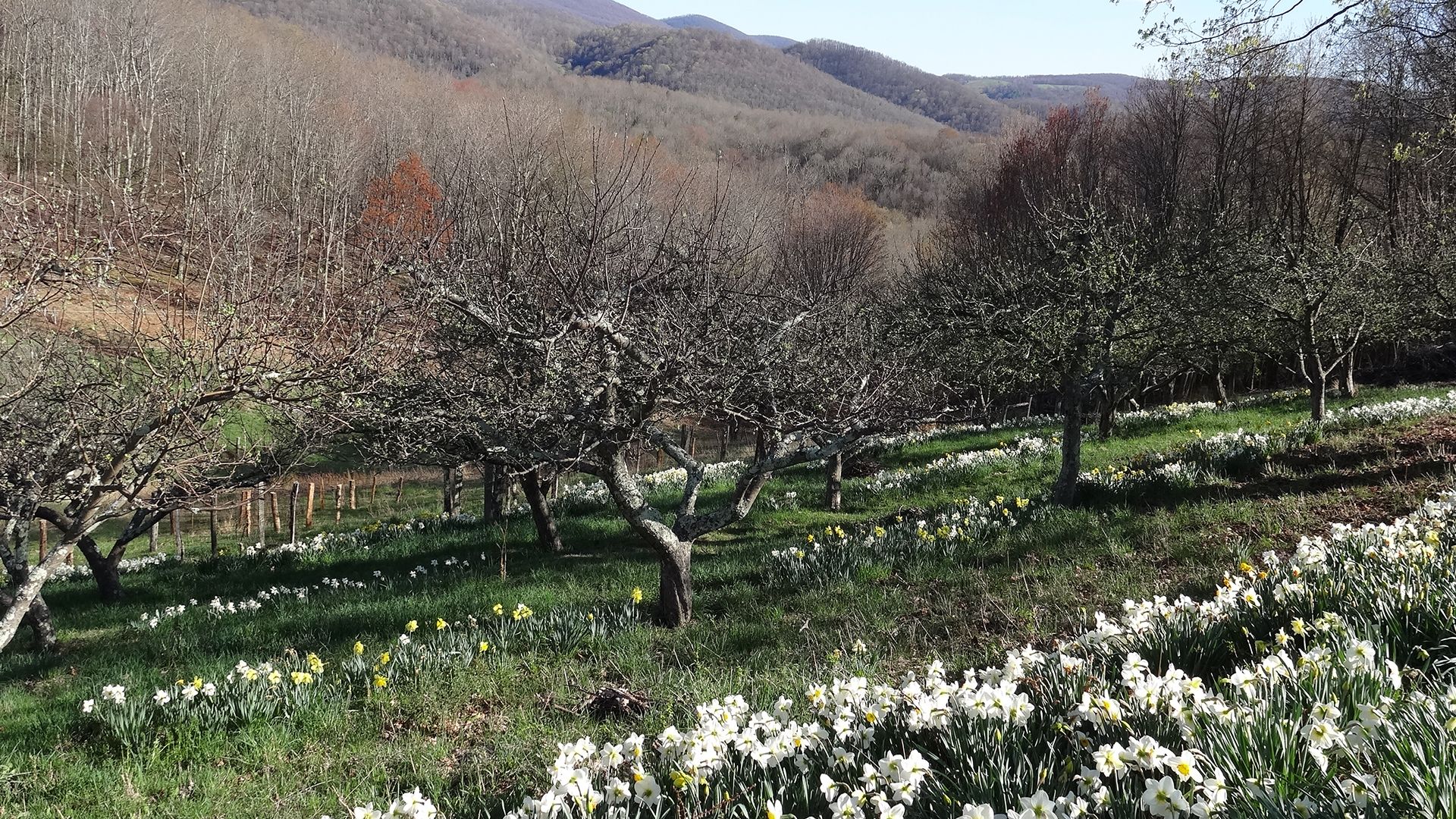 Orchard in Spring - Full Width Image