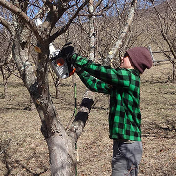Team Member: Sarah Pruning in the orchard